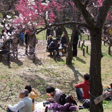 Beautiful Plum Blossoms in Yokohama