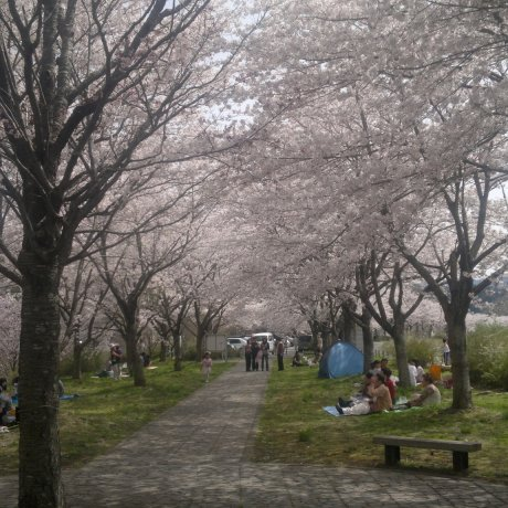 Best Cherry Blossom Sites in Iwate