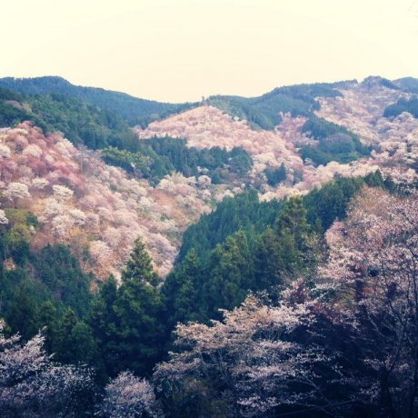 Sakura of Mount Yoshino in Nara