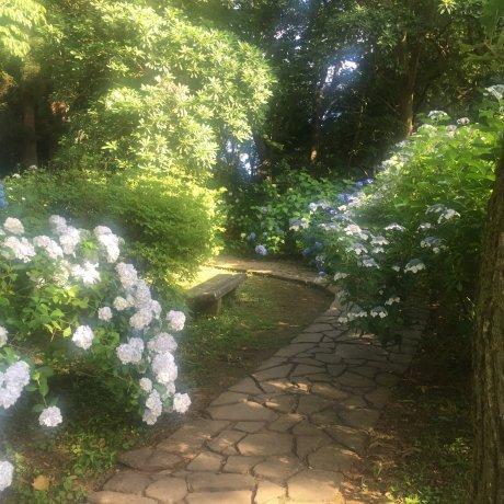 The Hydrangeas of Kurobane Castle