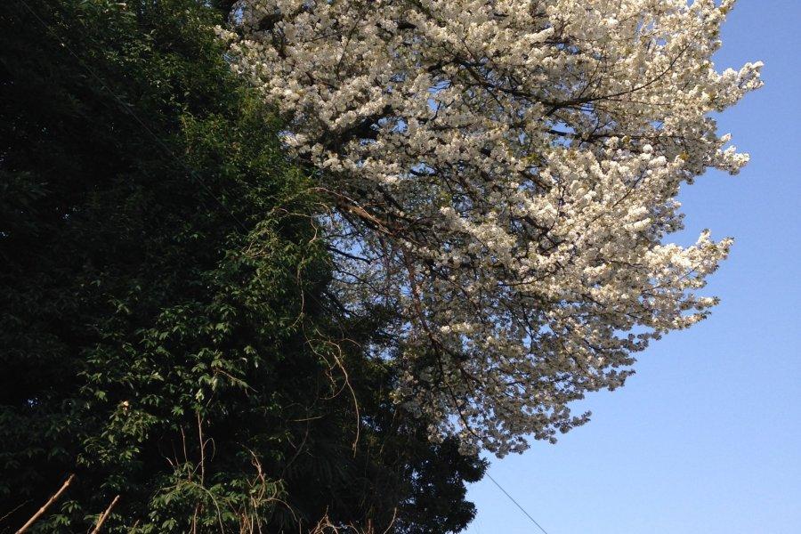 Yamazakura and Fallen Beauties