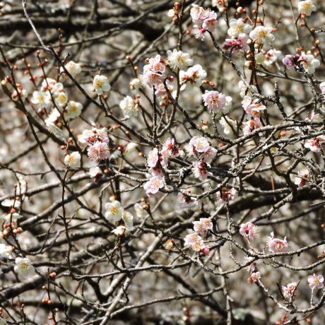 Plum Blossom Trail in Takao