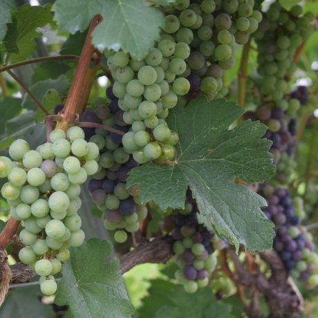Echigo Winery Grape Festival