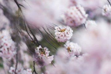 Cherry Blossom Guide: Flower Types