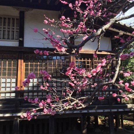 The Plum Trees of Shimizu Park