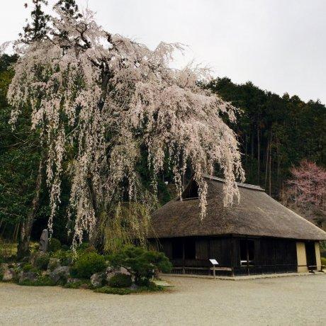 400 Year Old Sakura