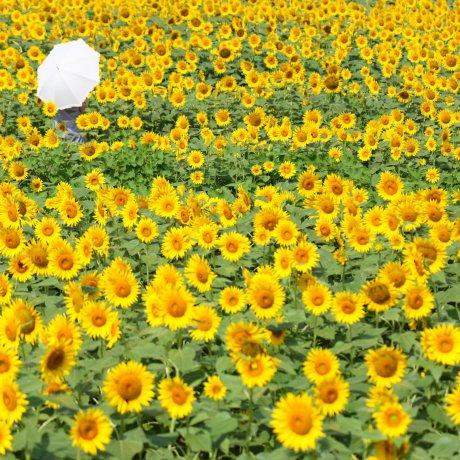 Akeno Sunflower Festival