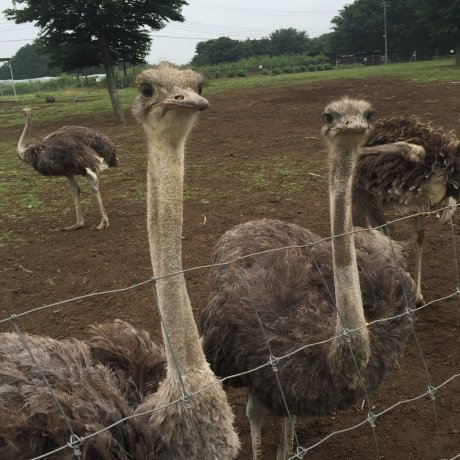 Ishioka Farm Ostrich Kingdom