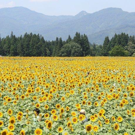 Tsunan Sunflower Festival
