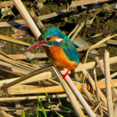 Japanese Common Kingfisher
