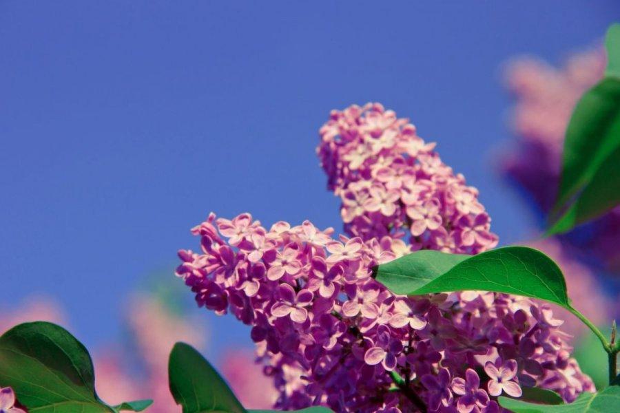 Sapporo Lilac Festival