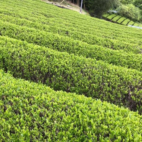 Tea Harvest in Kumano