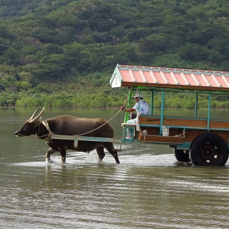 Water Buffalo Cart Ride in Ishigaki