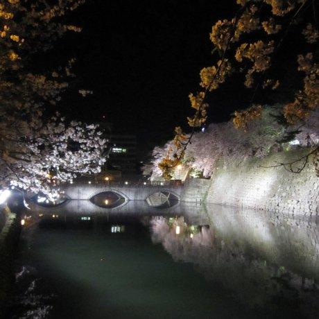 Cherry Blossoms at Fukui Castle