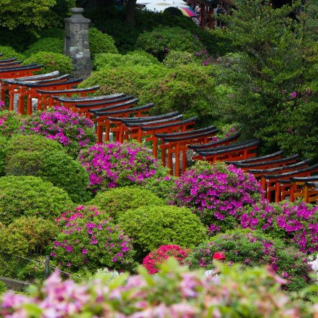 Azalea Festival, Nezu Shrine