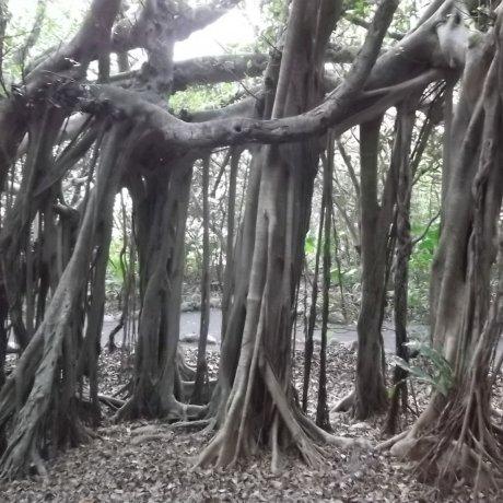 Gajumaru Banyan Garden, Yakushima