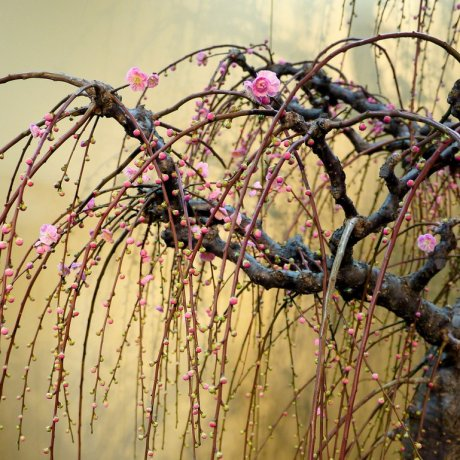 Exhibition of Bonsai Plum Trees