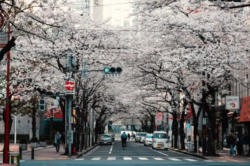 Tokyo Self-guided Cherry Blossom Cycling Tour