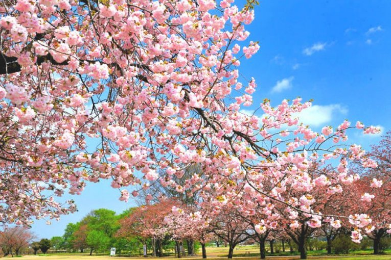 shibazakura flower