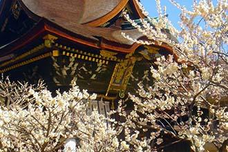 Kitano Temmangu Shrine Ume Garden Opening