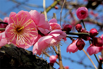 Plum Blossoms in Rural Odawara