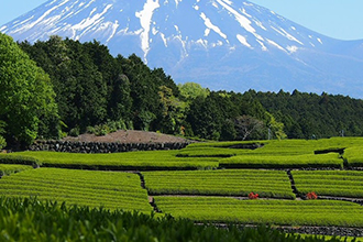 The Green Tea Fields of Shizuoka